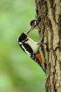 Pic épeiche : Oiseaux, Pic épeiche, Bocage, Forêt