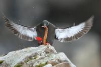 Guillemot à miroir : Oiseaux, Oiseaux pélagiques, Guillemot à miroir, Littoral, Falaise