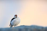Bruant des neiges : Oiseaux, Bruant des neiges, Islande, Jokulsarlon