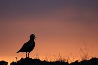 Pluvier doré : Oiseaux, Pluvier doré, Toundra, Islande, Norvège