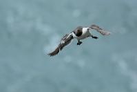 Guillemot de Troïl : Oiseaux, Oiseaux pélagiques, Guillemot de Troïl, Littoral, Falaise