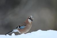 Geai des chênes : Oiseau, Geai des chênes, Jardin, Bocage, Forêt