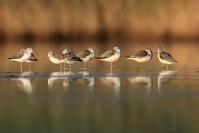 Chevalier aboyeur : Oiseau, Limicole, Chevalier aboyeur, Zone humide, Marais
