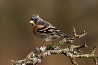 Pinson du nord : Oiseau, Pinson du nord, Jardin, Bocage