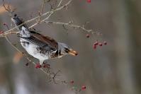 Grive litorne : Oiseau, Grive litorne, Jardin, Bocage