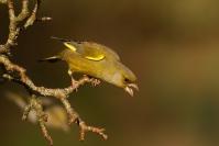 Verdier d'Europe : Oiseau, Verdier d'Europe, Verdier, Jardin, Bocage