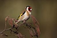 Chardonneret élégant : Oiseau, Chardonneret élégant, Jardin, Bocage
