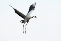 Grue cendrée : Oiseaux, Grue cendrée, Migration, Lac du Der