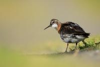 Phalerope à bec étroit : Oiseaux, Phalerope à bec étroit, Zone humide, Mare, Lac