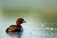 Grèbe castagneux : Oiseaux, Grèbe castagneux, Zone humide, Etang