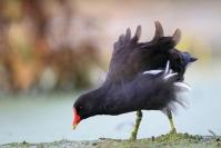 Poule d'eau : Oiseaux, Oule d'eau, Zone humide, Etang, Mare