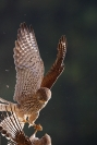 Faucon crécerelle : Faucon crécerelle, Falco tinnunculus