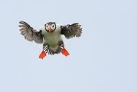 Macareux moine : Oiseaux, Macareux moine, Oiseaux pélagique, Littoral, Falaise