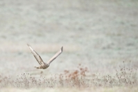 Buse variable : Buse variable, buteo buteo