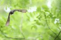 Etourneau sansonnet : Etourneau sansonnet, Sturnus vulgaris, Common Starling