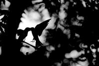 Hirondelle rustique : Hirondelle rustique, hirundo rustiqua