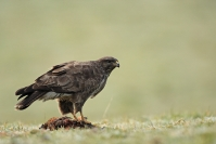Buse variable : Oiseaux, Rapace, Buse variable, Bocage