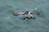 Pingouin torda : Oiseaux, Oiseaux pélagiques, Pingouin torda, Littoral, Falaise