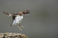 Chevalier guignette : Oiseaux, Chevalier guignette, Zone humide, Etang, Rivière