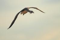 Plongeon catmarin : Oiseaux, Plongeon catmarin, Littoral, Lac