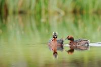 Grèbe esclavon : Oiseaux, Grèbe esclavon, Lac, Mare, Zone humide