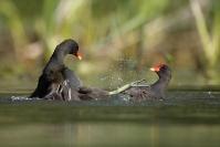 Poule d'eau : Oiseaux, Poule d'eau, Zonne humide, Etang, Mare