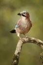 Geai des chênes : Geai des chênes, Oiseau, Oiseau des jardins, Bocage, Jardin, Forêt