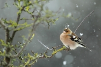 Pinsons des arbres : Pinson des arbres, Oiseau, Oiseau des jardins, Bocage, Jardin, Forêt