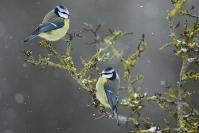 Mésange bleue : Mésange bleue, Oiseau, Oiseau des jardins, Bocage, Jardin, Forêt