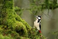 Pic épeiche : Pic épeiche, Oiseau, Oiseau des jardins, Oiseau Cavernicole, Bocage, Jardin, Forêt