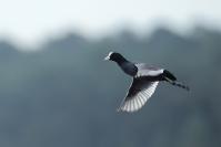 Foulque macroule : Oiseaux, Foulque macroule, Zone humide, Etang