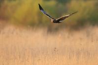 Busard des roseaux : Oiseau, Busard des roseaux, Rapace, Etang, Roselière, Marais
