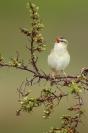Phragmite des joncs : Oiseau, Phragmite des joncs, Zone humide, Baie, Haie