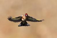 Chardonneret élégant : Chardonneret élégant, Oiseau, Oiseau des jardins, Bocage
