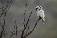 Chouette épervière : Chouette épervière, Oiseau, Rapace, Forêt, Scandinavie, Norvège