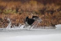 Harelde boréale : Oiseau, Harelde boréale, Scandinavie, Norvège