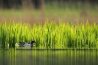 Sarcelle d'été : Oiseau, Sarcelle d'été, Canard, Etang, Marais