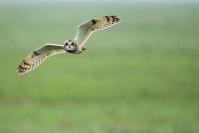 Hiboux des marais : Hiboux des marais, Oiseau, Rapace, Prairie humide, Marais, Champ