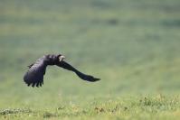 Corbeau freux : Oiseaux, Corvidé, Corbeau freux, Prairie, Champ, Bocage