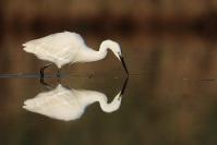Aigrette garzette : Oiseaux, Aigrette garzette, Zone humide, Etang