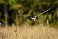 Busard Saint-Martin : Oiseaux, Rapace, Busard saint-martin, Plaine
