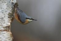 Sitelle torchepot : Oiseaux, Sitelle torchepot, Bocage, Forêt