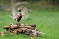 Faisan de colchide : Oiseaux, Faisan, Faisan de colchide, Bocage