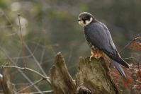 Faucon hobereau : Oiseaux, Rapace, Faucon hobereau, Bocage, Forêt