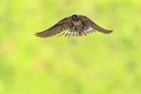 Hirondelle rustique : Oiseaux, Hirondelle rustique, Hirondelle des cheminées, Bocage, Ferme, Agriculture