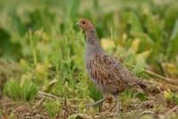 perdrix grise : Oiseaux, Perdrix grise, Plaine, Culture