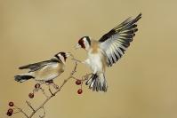 Chardonneret élégant : Chardonneret élégant, Carduelis carduelis, European Goldfinch