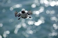 Pingouin torda : Pingouin torda, Alca torda - Razorbill, Oiseaux pélagiques, Oiseaux des falaises