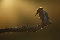 Martin pêcheur : Martin pêcheur, Alcedo atthis, Common Kingfisher, Oiseaux mare, Piseaux étang, Oiseaux rivière