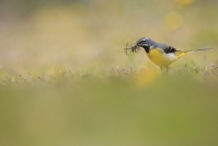 Bergeronnette des ruisseaux : Bergeronnette des ruisseaux, Motacilla cinerea, Grey Wagtail, Oiseaux ruisseaux